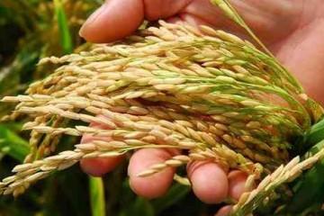 农业始祖后稷的故事:稻从枫来