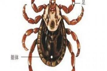 蜱虫咬人后有什么症状?蜱虫危害不可小视