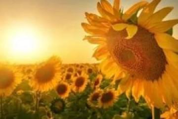 向日葵的花语和寓意,忠诚的爱